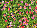 Free Stock Photo: A bunch of small pink daisies