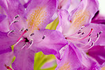 Free Stock Photo: Close-up of a purple rhododendron flower