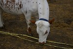 Free Stock Photo: A small white calf