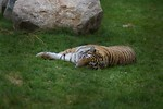 Free Stock Photo: A Siberian tiger lying in the grass