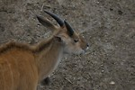 Free Stock Photo: Close-up of an eland antelope