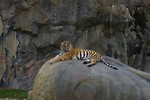 Free Stock Photo: A Siberian tiger lying on a rock