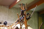 Free Stock Photo: A group of chimpanzees in an indoor habitat
