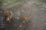 Free Stock Photo: A group of eland antelopes