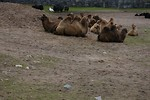 Free Stock Photo: A group of Bactrian camels sitting on the ground
