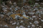 Free Stock Photo: A Siberian tiger lying in some rocks