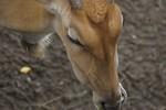Free Stock Photo: Close-up of an eland antelope
