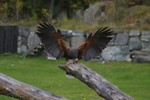 Free Stock Photo: A Harris hawk landing on a branch