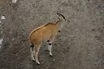 Free Stock Photo: An eland antelopes