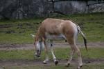 Free Stock Photo: A Turkmenian wild ass on the grass