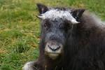 Free Stock Photo: A European bison