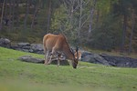 Free Stock Photo: An eland antelope