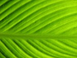 Free Stock Photo: Close-up of a green leaf