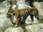 Free Stock Photo: A sumatran tiger walking across rocks