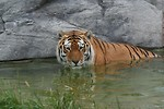 Free Stock Photo: A Siberian tiger swimming in water