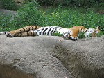 Free Stock Photo: An Indo-Chinese tiger sleeping on a rock