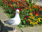 Free Stock Photo: A sea gull standing by flowers