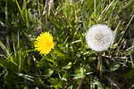 Free Stock Photo: Dandelions in the grass