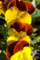 Free Stock Photo: Red and yellow pansies