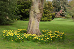 Free Stock Photo: Yellow daffodils around the base of a tree