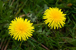 Free Stock Photo: Two yellow dandelions