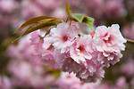 Free Stock Photo: Japanese flowering cherry in blossom