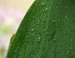 Free Stock Photo: Close-up of a large green leaf with rain drops