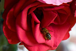 Free Stock Photo: A bee in a red rose