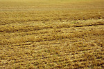 Free Stock Photo: A dried field