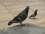 Free Stock Photo: Pigeons on a sidewalk