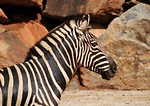 Free Stock Photo: Close-up of a zebra