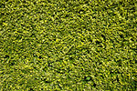 Free Stock Photo: Close-up of a green hedge