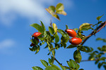 Free Stock Photo: A couple rose hips against a blue sky background
