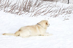 Free Stock Photo: A labrador laying on the snow