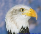 Free Stock Photo: Close-up of an American bald eagle