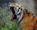 Free Stock Photo: Close-up of a tiger yawning