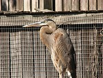 Free Stock Photo: Close-up of a grey heron