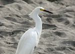 Free Stock Photo: A white heron standing in the sand