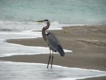 Free Stock Photo: Close-up of a heron on the beach by the ocean