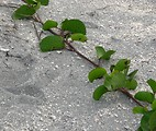 Free Stock Photo: Close-up of a vine on the beach