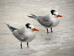 Free Stock Photo: A pair of royal terns in water on the beach
