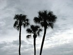Free Stock Photo: Palm tree siilhouettes before a cloudy sunset
